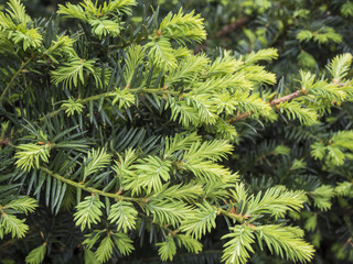 the branches of spruce