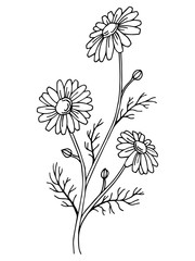 Chamomile flower graphic art black white isolated illustration vector