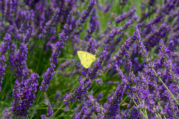 ラベンダーと蝶々