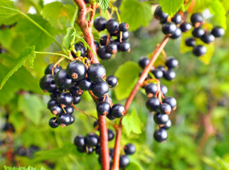 black currant on a branch in garden