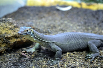 lizard walking through dry landscape