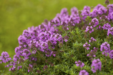 Thyme (Thymus vulgaris) blossoming in the garden of herbs.