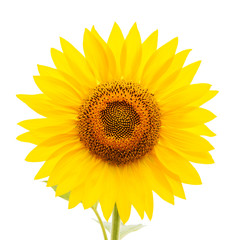 flower of sunflower on white background