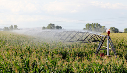 Irrigation of a A green field of corn growing up