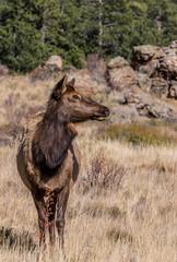 Cow Elk on alert in the Rockies