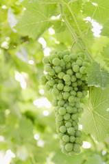 Green grape.