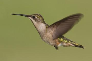 Fotoväggar - Female Ruby-throated Hummingbird (archilochus colubris)
