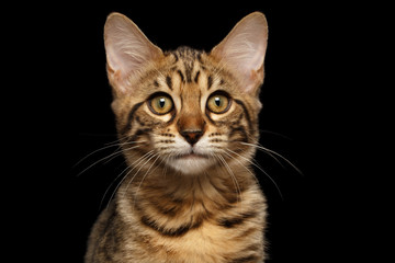 Closeup Portrait of Bengal female Kitty, Curious Looks in Camera Isolated on Black Background, Front view