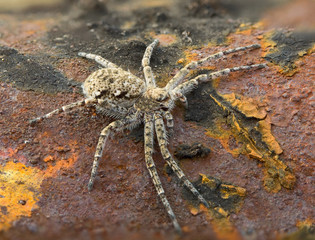 Macrophoto of spider on a rusty surface