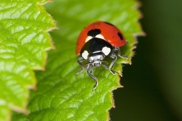 Red ladybird sits on green sheet