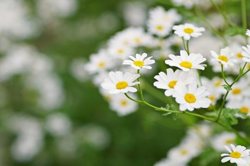 Beautiful bouquet of white daisy flower on nature background. Summer flowers.
