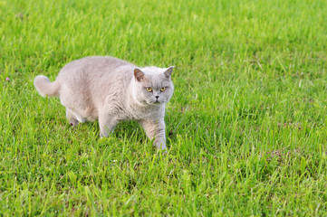 grey cat with yellow eyes moving across the grass