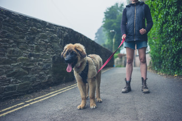 Young woman walking Leonberger puppy