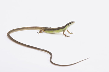Long-tailed grass lizard (Takydromus sexlineatus)