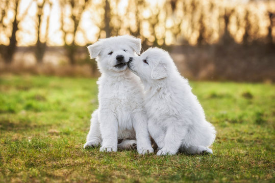 Two funny white swiss shepherd puppies playing