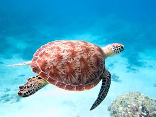 Photo sur Plexiglas Tortue tortue verte nageant à Mayotte