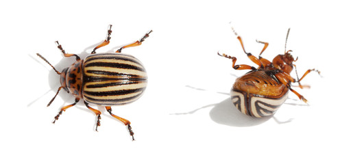 Two Colorado bugs. Live and dead.