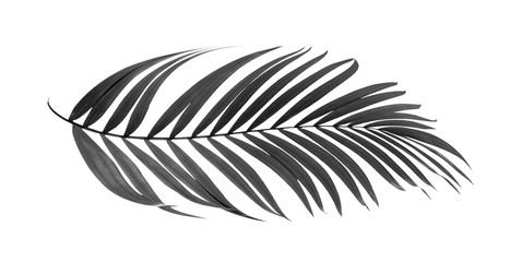 black leaves of palm tree isolated on white background