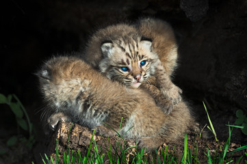 Baby Bobcat Kittens (Lynx rufus) Lie in Pile