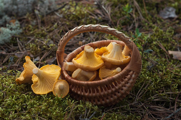Chanterelles in small basket