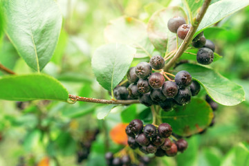 Ripe aronia berry fruit on the branch