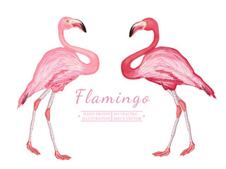 Two flamingo isolated on white background beautiful pink flaming