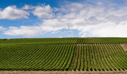 Columbia River Gorge Grape Plantation Fruit Orchard Agriculture