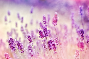 Soft focus on lavender due to the use of color filters