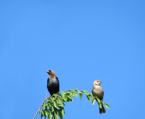 Cowbirds, male and female, on a branch against a blue sky