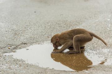 Monkey Drinks Water