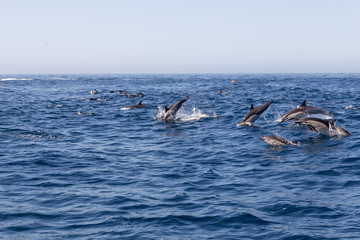 Jumping Dolphins in the Ocean