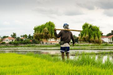 The man farmer shoulder rice in rice field