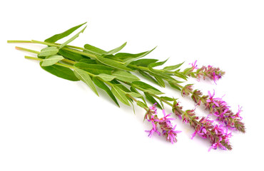 Lythrum salicaria, purple loosestrife, spiked loosestrife, or pu