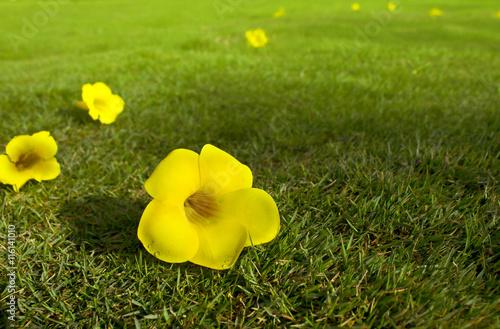 Yellow flowers india sweet yellow english yellow common yellow yellow flowers india sweet yellow english yellow common yellow or mightylinksfo