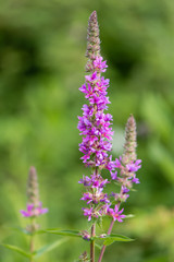 Purple loosestrife (Lythrum salicaria) inflorescences. Flower spikes of plant in the family Lythraceae, associated with wet habitats