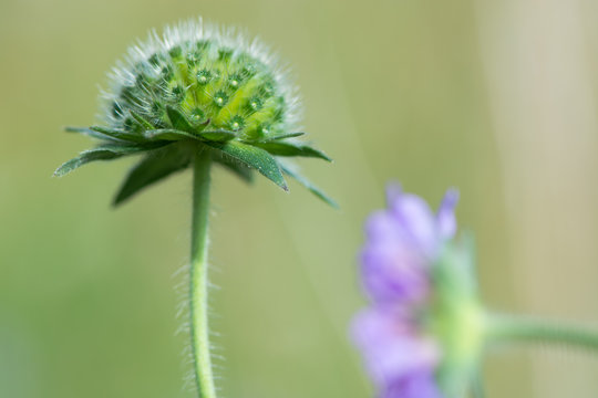 Field scabious (Knautia arvensis) flower bud. Unopened inflorescence of flowers of plant in the family Caprifoliaceae, in bloom in a British meadow
