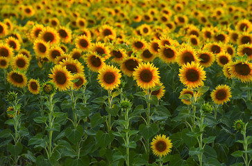 Sunflowers in the field, large round. Delicate sunset light in the background.