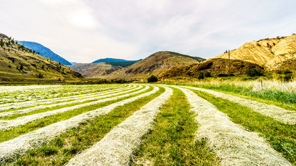Rows of Hay on a hay field along Highway 8 between Merritt and Spences Bridge in British Columbia