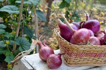 cestino con cipolle rosse nell'orto