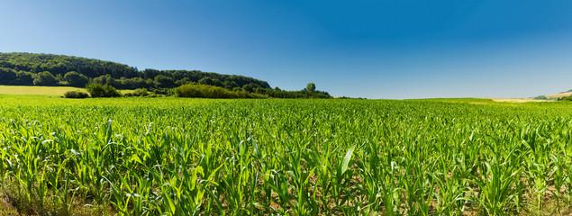 Aggrarfläche bebaut mit Gen-Mais