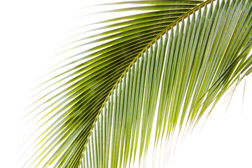 green coconut leaves on a white background.