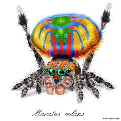 Peacock Spider Maratus Volans