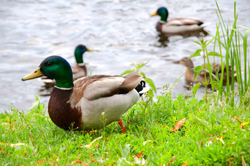 Ducks in city park