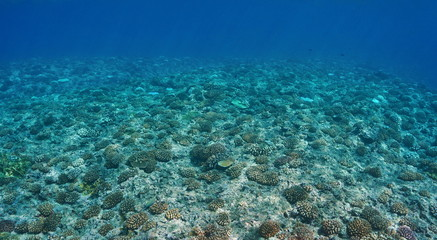 Underwater scenery, corals on the ocean floor on the upper fore reef slope, Huahine, Pacific ocean, French Polynesia