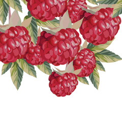Watercolor Raspberries fruits Vector