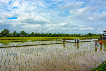Flooded rice paddies in Thailand being prepared with a new crop of plants