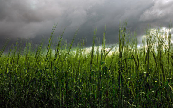 spikelets of wheat  on a background of storm clouds