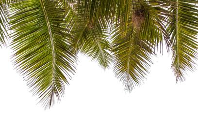 palmes de cocotier sur fond blanc