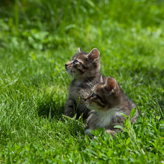Two young  kittens outside in a sunny day relaxing in green grass