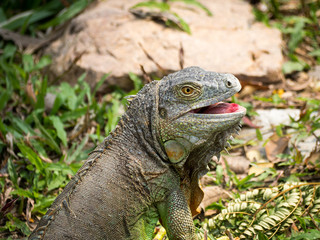 Portrait of green iguana